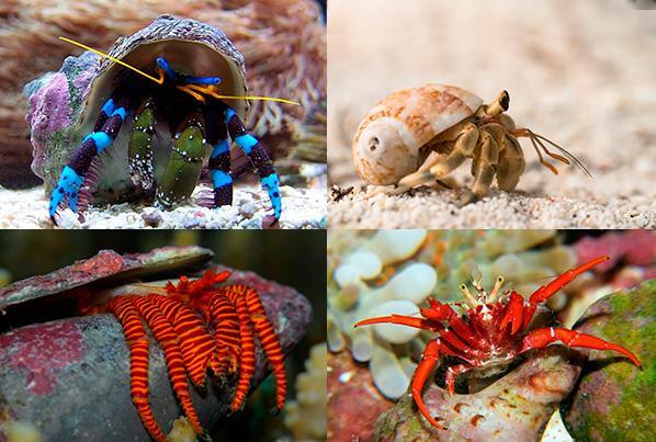 Виды аквариумных раков отшельников