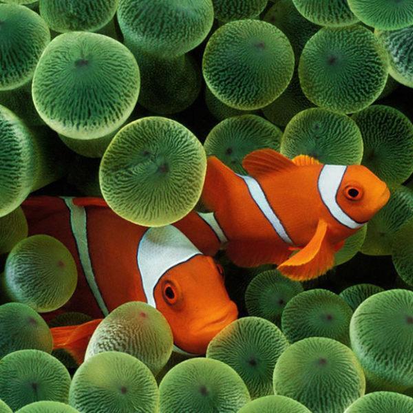 Клоуны прячутся в актинии