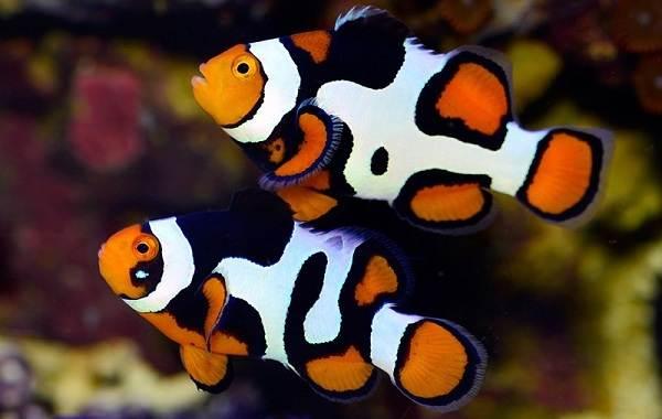 Пара рыб клоунов