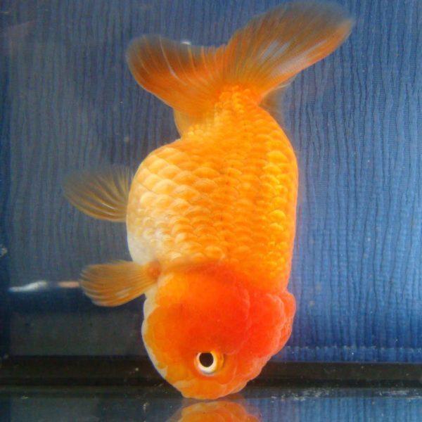 Золотая рыбка проглотила камень