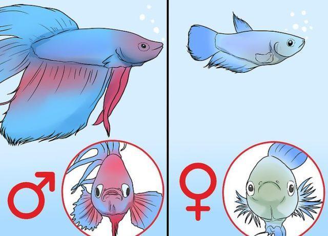 Половой диморфизм петушков