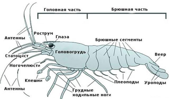 Строение креветки