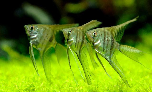 3 скалярии в аквариуме
