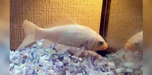 Самая старая золотая рыбка