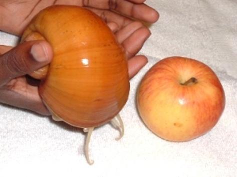 Ампулярия размером с яблоко
