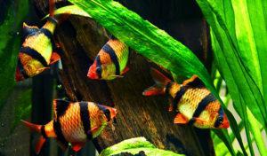 Стая барбусов в аквариуме красивое фото