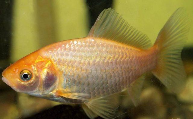 Вот с такого карасика когда то началась аквариумная жизнь золотых.