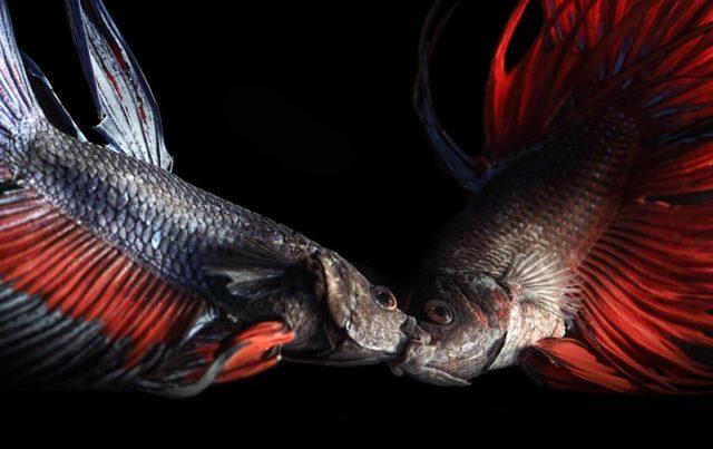 Драка рыб петушков