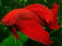 Красный королевский петушок