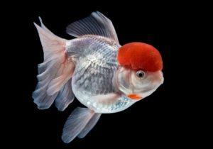 Оранда - золотая рыбка красная шапочка