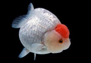Жемчужина - золотая рыбка