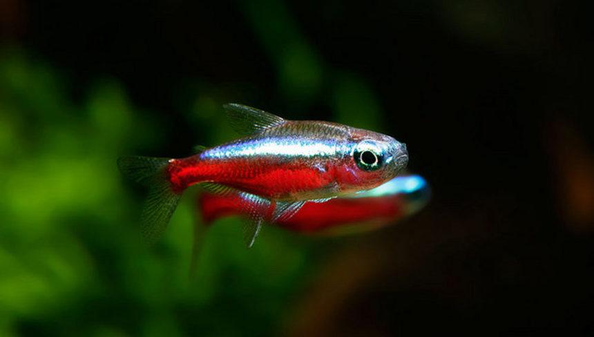Неоны: уход и содержание аквариумных рыбок