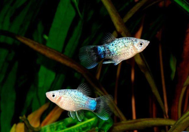 Голубая пецилия пара в аквариуме