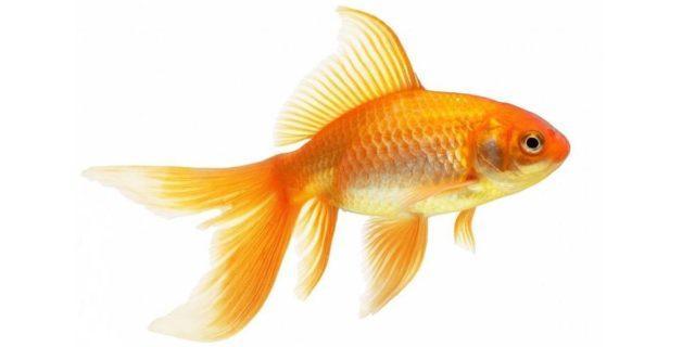 Комета - золотая рыбка