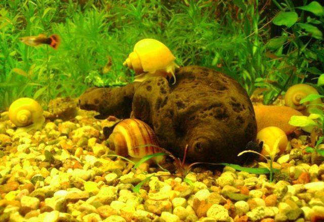 Ампулярия и гуппи в аквариуме