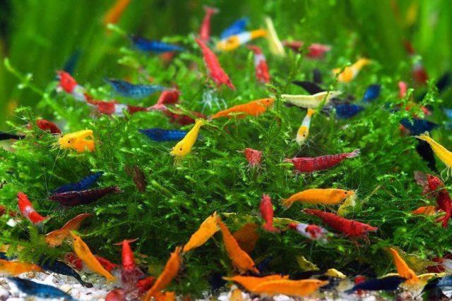 Разноцветные креветки