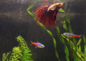 Петушок и неоны в одном аквариуме