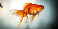 Вуалехвостая золотая рыбка