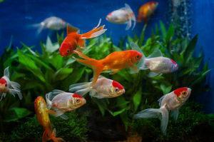 Виды золотых рыб