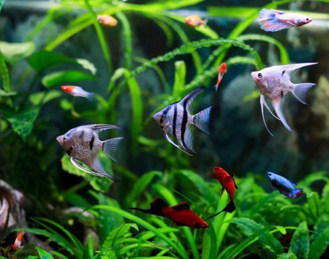 Скалярии в аквариуме с меченосцами и родостомусами
