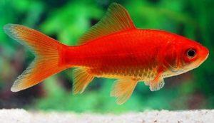Золотая рыбка красная комета