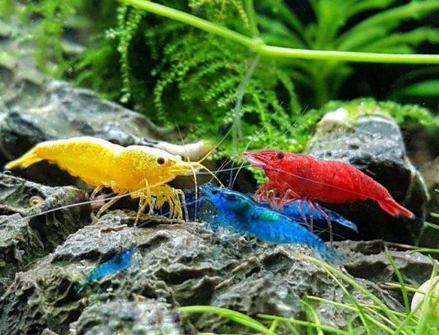 Цветные креветки