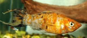 Красный леопард моллинезия