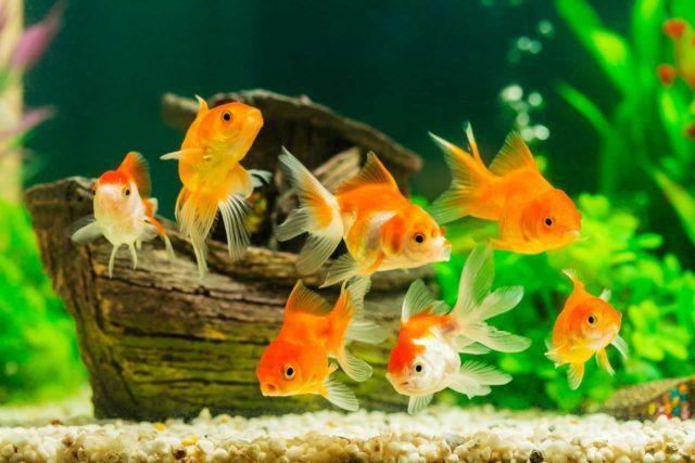 Видовой аквариум с золотыми рыбками