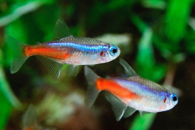 Пара неонов в аквариуме