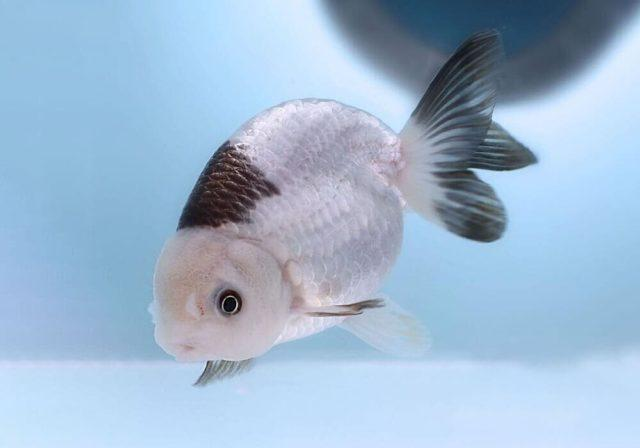 Жемчужина - золотая рыбка ранчу