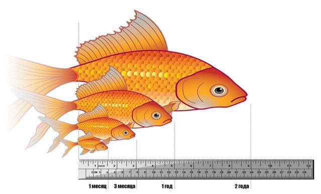 Как растут золотые рыбки