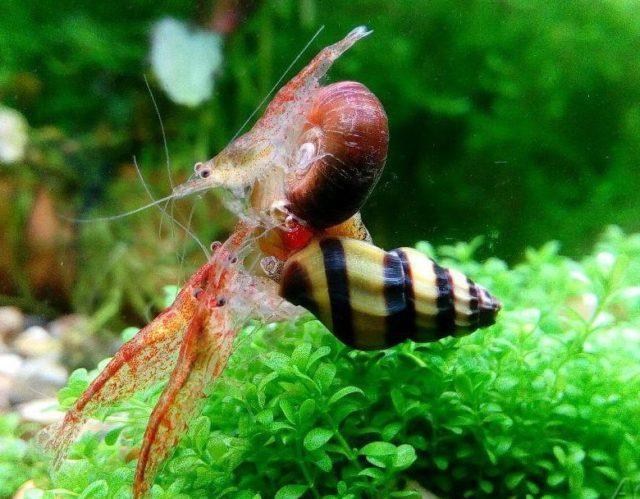 Креветки едят улитку