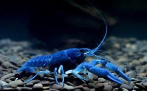 Синий рак