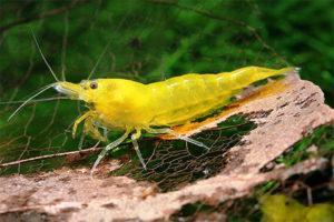 Креветка Желтая
