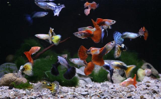 Видовой аквариум с гуппи