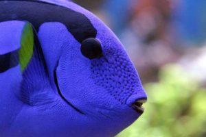 Рыба синий хирург