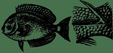 Шипы рыбы хирурга
