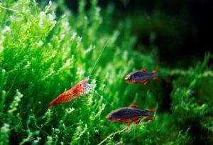 Креветка и рыбки расборы