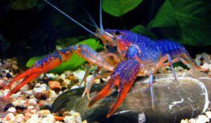 Пресноводный аквариумный рак