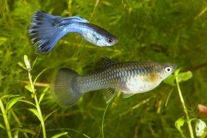 Гуппи самец и самка