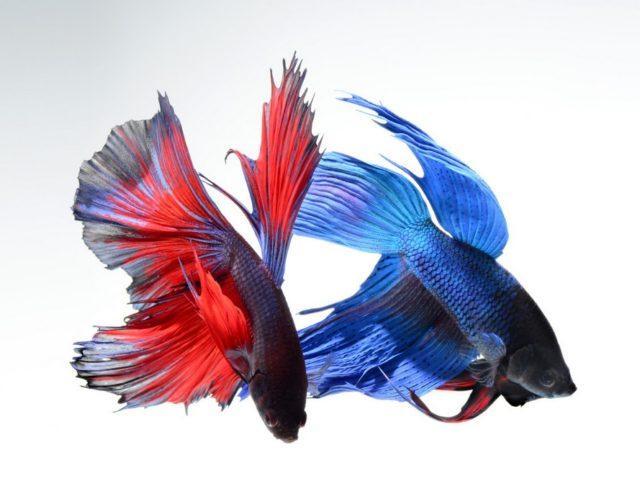 Разноцветные рыбки петушки