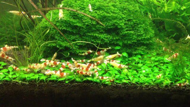 Стая креветок в аквариуме