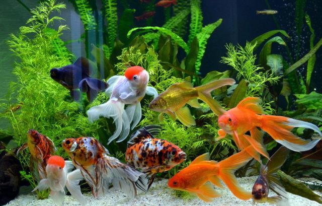 Аквариум с золотыми рыбками разных пород