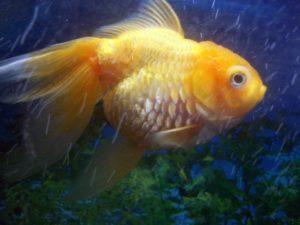 Асцит у золотой рыбки