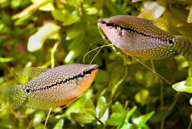 Рыбки гурами - фото, содержание и совместимость