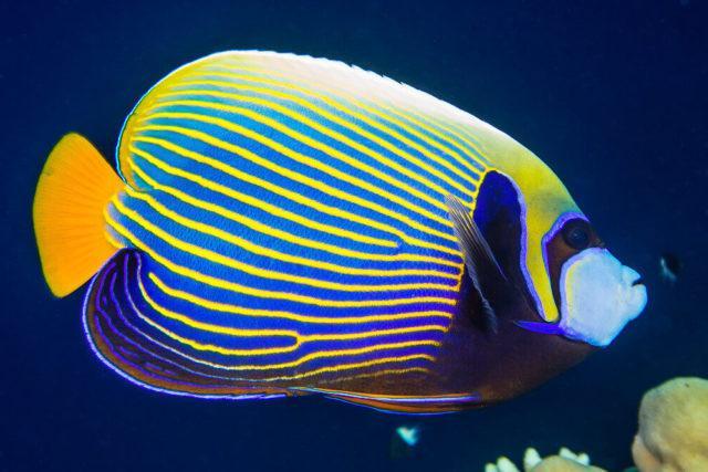 Императорский ангел морская рыбка - взрослая
