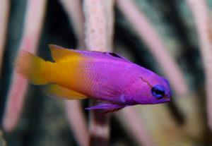 Рыбка королевская гамма