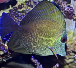 Зебрасома бурая морская рыбка