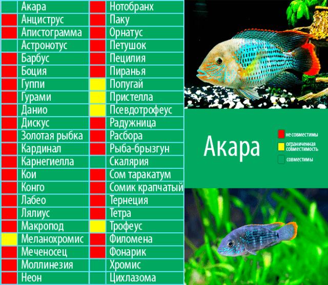 Совместимость акар с прочими видами рыб