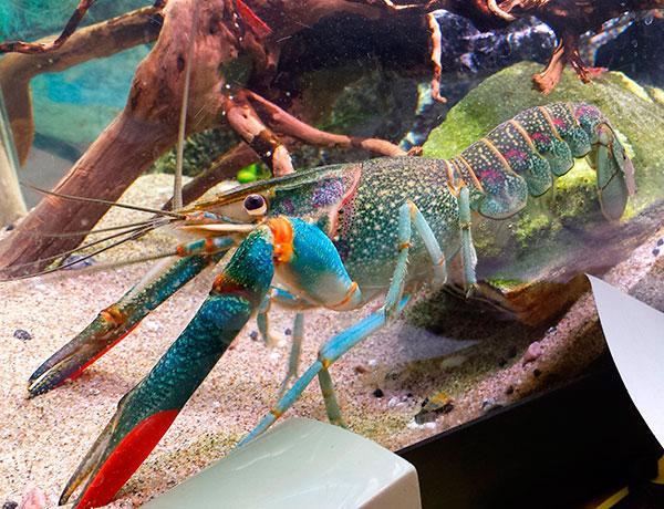 Австралийский рак красный коготь в аквариуме